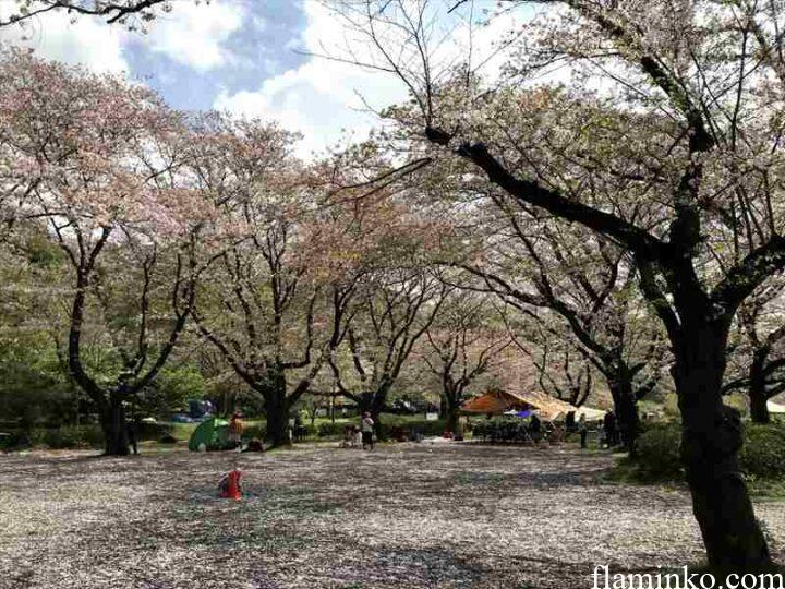 上大島キャンプ場 桜