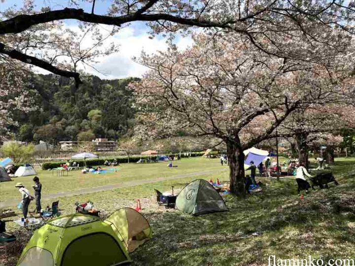 上大島キャンプ場 桜がきれいな芝サイト2