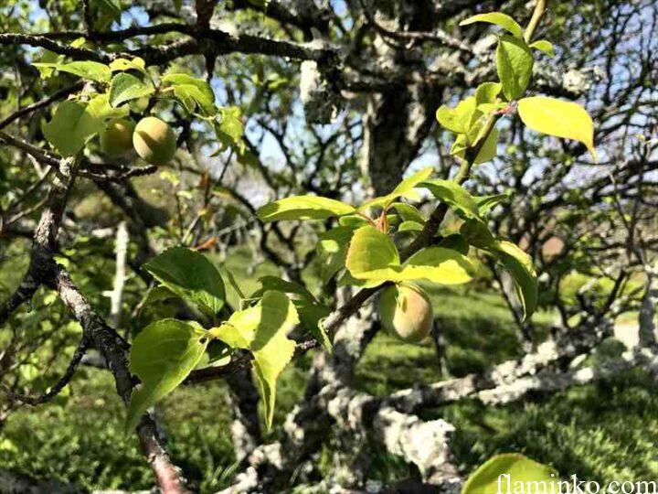 田代青少年自然の家 梅林の梅